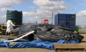 The dead whale at the PLA's operational base in Gravesend