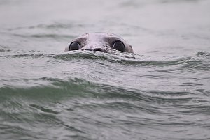 Seal in the River Thames
