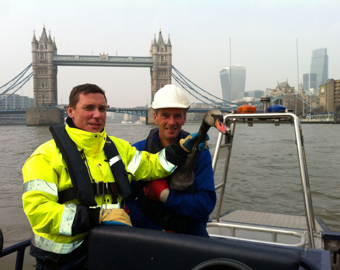Black swan - Port of London Authority rescues oily bird